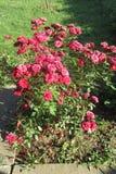 Röda rosor på solig dag i min främre gård Kragujevac Serbien arkivfoton