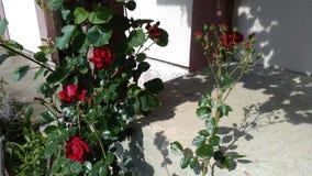 Röda rosor på trappan arkivbild