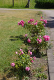 Röda rosor på vägen royaltyfria foton