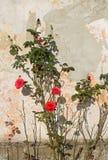 Röda rosor på väggen fotografering för bildbyråer