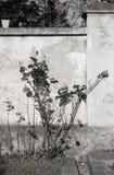 Röda rosor på väggen arkivfoto