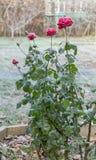 Röda rosor som täckas med frost Arkivfoto