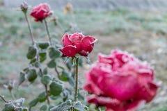 Röda rosor som täckas med frost Royaltyfri Fotografi