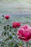 Röda rosor som täckas med frost arkivfoton