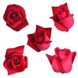 Röda rosuppsättningar Royaltyfria Foton