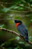 Röda-ruffed Fruitcrow, Pyroderus scutatus, exotisk sällsynt vändkretsfågel i naturhabiten, mörker - grön skog, Otun, Colombia royaltyfria bilder