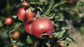 Röda saftiga äpplen växer på träd stock video