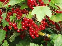 Röda saftiga vinbär i trädgården Royaltyfri Fotografi