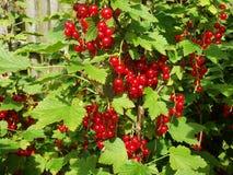 Röda saftiga vinbär i trädgården Fotografering för Bildbyråer