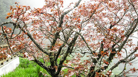 Röda Sakura Royaltyfri Bild