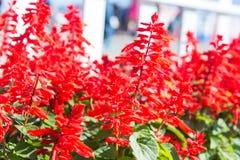 Röda Salvia Plants Royaltyfri Fotografi