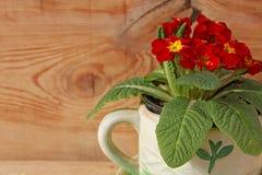 Röda sammetblommor för primula royaltyfria bilder