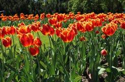 Röda satte fransar på tulpan i trädgården Royaltyfria Bilder