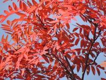 Röda sidor av bergaskaen i höst Fotografering för Bildbyråer