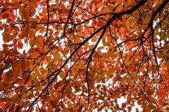 Röda sidor av den asp- hösten Royaltyfri Bild