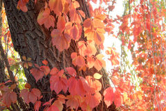 Röda sidor av den Autumn Virginia rankan på träd Royaltyfria Bilder