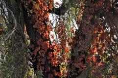 Röda sidor av den Autumn Virginia rankan på träd Royaltyfri Foto