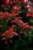Röda sidor av fullmoonlönnträdet Royaltyfri Fotografi
