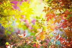 Röda sidor av lösa druvor i träden i parkera, höstseaso Royaltyfri Fotografi