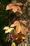 Röda sidor av parthenocissusen Arkivfoton
