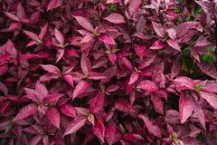 Röda sidor av plommonet i busken låter vara red Arkivbilder