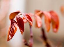 Röda sidor av trädet Makro royaltyfri fotografi