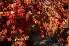 Röda sidor av viburnumen med röda bär tände den ljusa solen royaltyfri fotografi