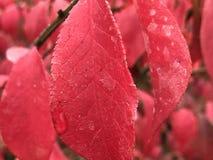 Röda sidor efter regn Royaltyfri Fotografi