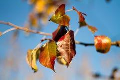 Röda sidor för höst på träd Arkivfoto