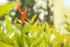 Röda sidor i mitt av gröna sidor för bakgrundsro-wallp Arkivfoto