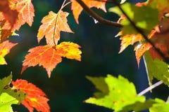 Röda sidor i solen Arkivfoton