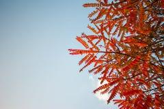 Röda sidor mot himlen, kronblad på blått royaltyfri fotografi
