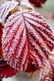 Röda sidor på ett träd i iskall förkylning Fotografering för Bildbyråer
