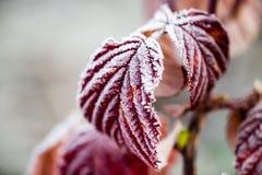 Röda sidor på ett träd i iskall förkylning Royaltyfria Foton