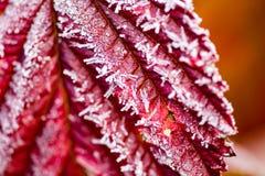 Röda sidor på ett träd i iskall förkylning Royaltyfri Foto