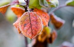 Röda sidor på ett träd i iskall förkylning Arkivfoton