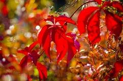 Röda sidor på träd Royaltyfri Bild