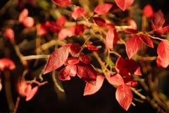 Röda sidor på trädfilialen Royaltyfri Foto