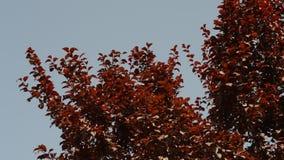 Röda sidor som svänger i vinden på lager videofilmer