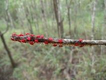 Röda skalbaggar med ägg på trädfilial i Swaziland Arkivfoton