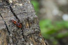 Röda skalbaggar på hampa Arkivfoton