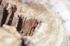 Röda skalbaggar på trädstubben Arkivbild