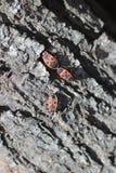 Röda skalbaggar på trädstubben Royaltyfri Fotografi