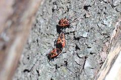 Röda skalbaggar på trädstubben Arkivbilder