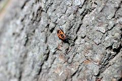 Röda skalbaggar på trädstubben Fotografering för Bildbyråer