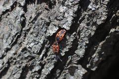 Röda skalbaggar på trädstubben Royaltyfri Foto