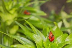 Röda skalbaggar reproducerar Arkivfoto
