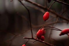 Röda skuggor av de lösa rosorna Arkivbild