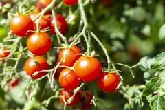 Röda smakliga Cherry Tomatoes royaltyfri foto