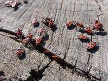 Röda soldatfel på stubbe arkivfoton